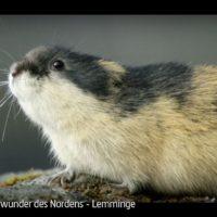 #DokuLiebe-Empfehlung von Wibke Ladwig: Lemminge - Naturwunder des Nordens (ARTE)