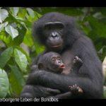 ARTE-Doku: Das verborgene Leben der Bonobos