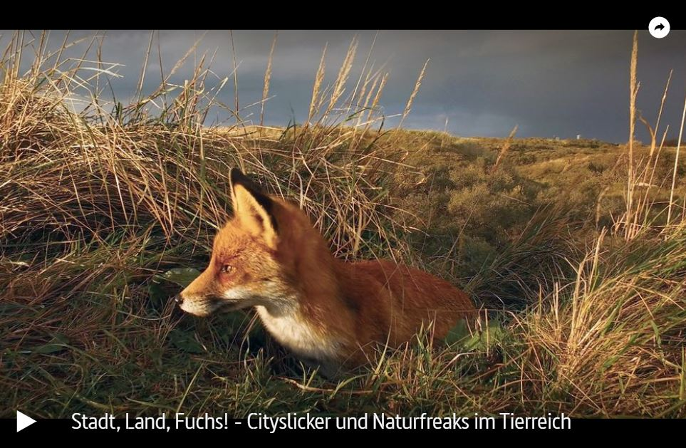 ARTE-/RBB-Doku: Stadt, Land, Fuchs! Cityslicker und Naturfreaks im Tierreich