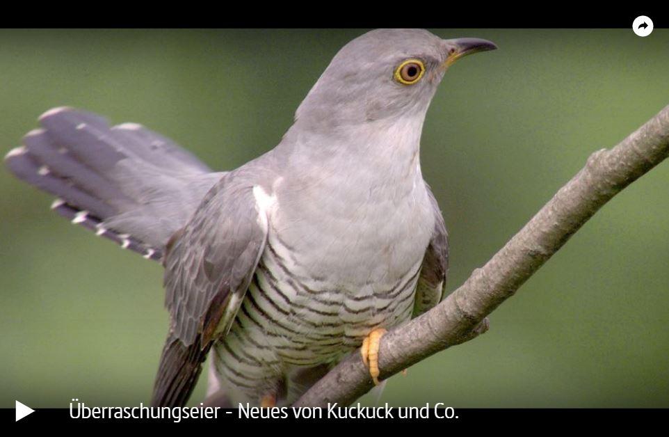 ARTE-Doku: Überraschungseier - Neues von Kuckuck und Co.