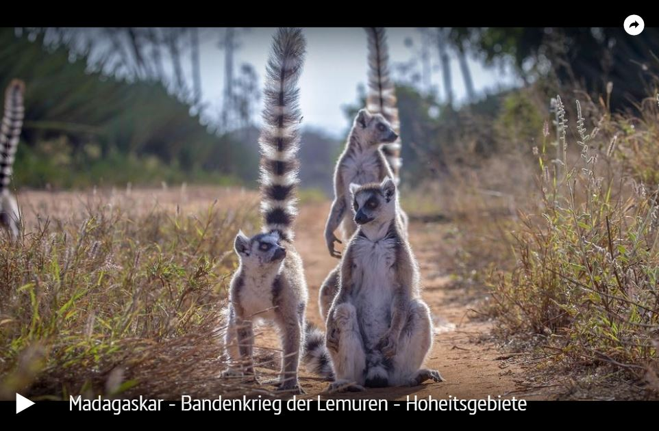 ARTE-Doku: Madagaskar - Bandenkrieg der Lemuren