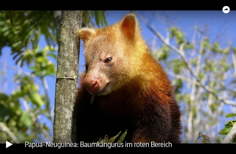 ARTE-Doku: Papua-Neuguinea - Baumkängurus im roten Bereich