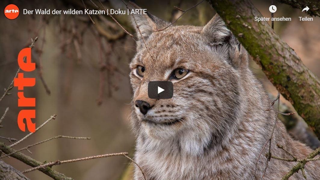 ARTE-Doku: Der Wald der wilden Katzen