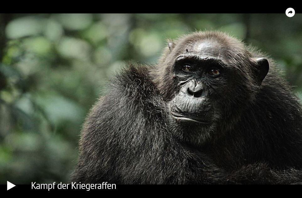 ARTE-Doku: Schimpansen - Kampf der Kriegeraffen