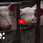 ARTE-Reportage: Schweinepest auf dem Vormarsch