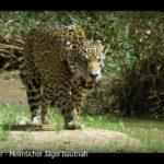 ARTE-Doku: Jaguar - Heimlicher Jäger hautnah