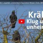 BR-Doku: Krähen - Unheimlich, ungeliebt, unterschätzt