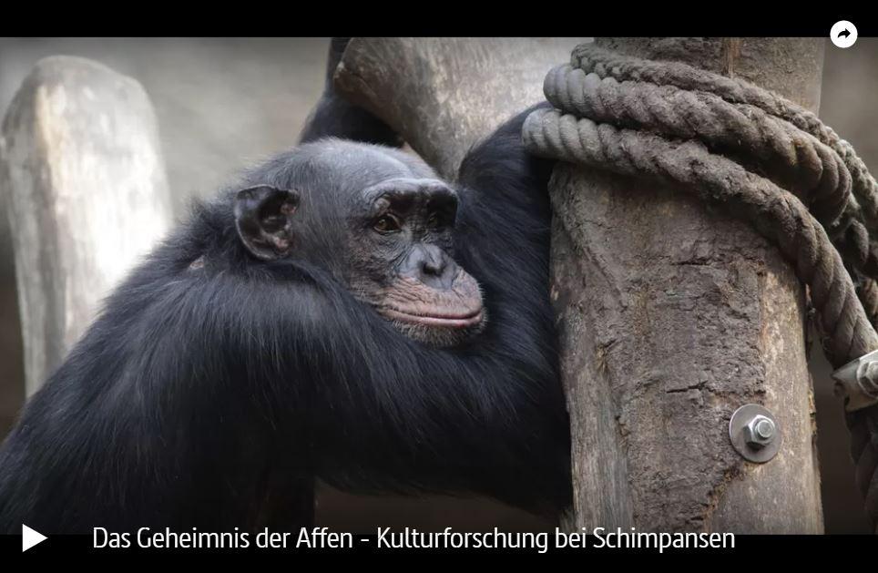 MDR-Doku: Das Geheimnis der Affen - Kulturforschung bei Schimpansen