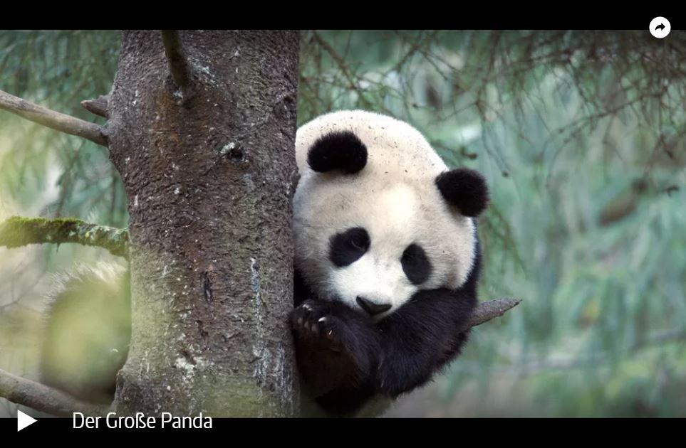 ZDF-Doku: Der Große Panda