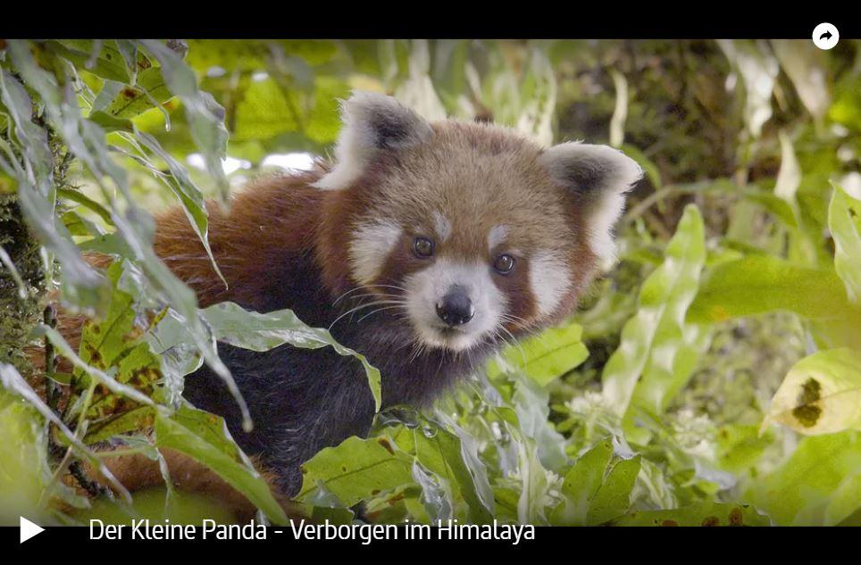 MDR-Doku: Der Kleine Panda - Verborgen im Himalaya