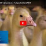 NDR Doku: Der Umzug der 300 Gänseküken | Hofgeschichten