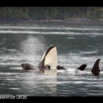 ARTE-Doku: Faszinierende Orcas