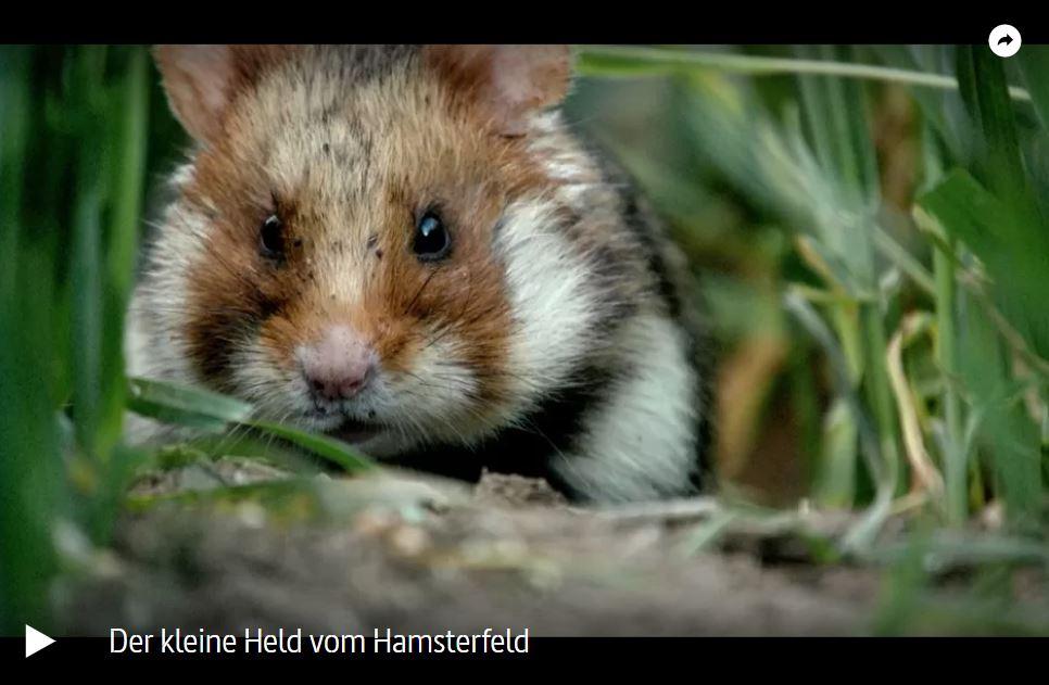 ARTE-Doku: Feldhamster - Der kleine Held vom Feld