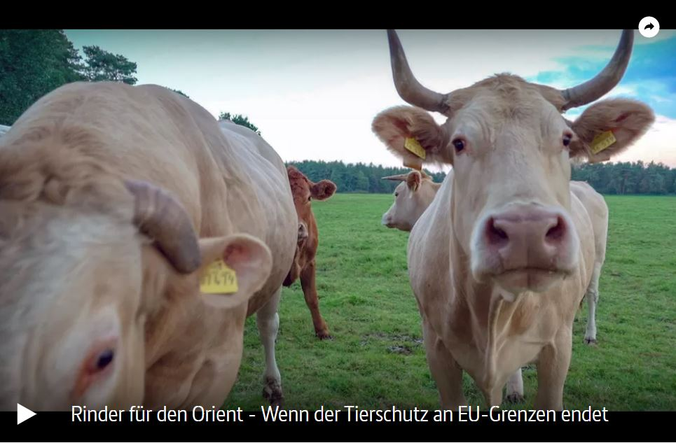 ARTE-Doku: Rinder für den Orient - Wenn der Tierschutz an EU-Grenzen endet