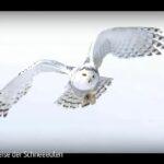ARTE-Doku: Die Reise der Schneeeulen