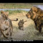 ARTE-Doku: Löwen in Botswana - Überleben in der Savanne