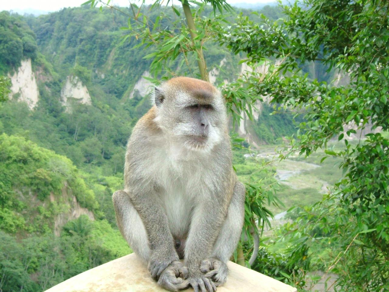 Der Langschwanzmakak ist die am häufigsten vorkommende Affenart der Welt
