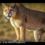 ARTE-Doku: Pumas - In der Wildnis Patagoniens