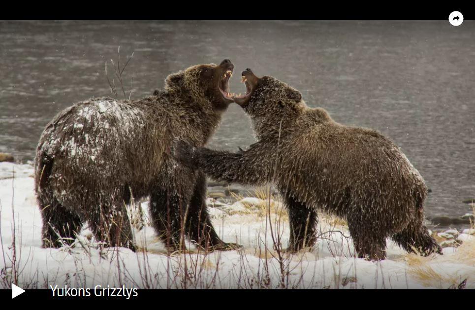ARTE-Doku: Yukons Grizzlys