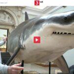 3sat-Doku: Die Jäger des Mittelmeeres - Haie vom Aussterben bedroht