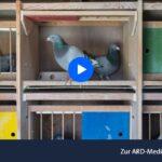 ARD-Doku: Höhenflüge - Das skurrile Millionengeschäft mit Brieftauben